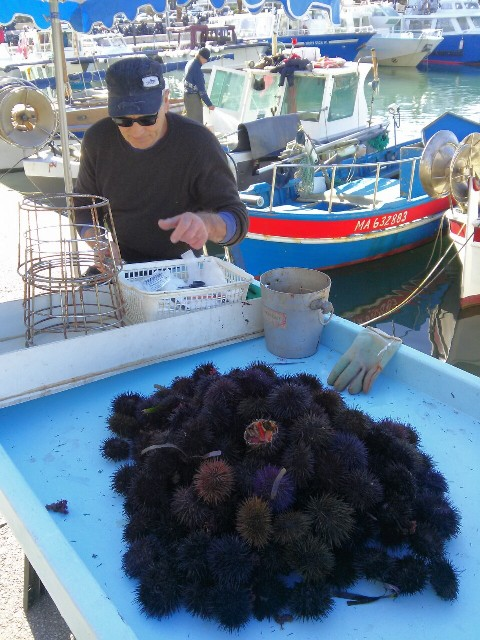 02181502 cassis sea urchins