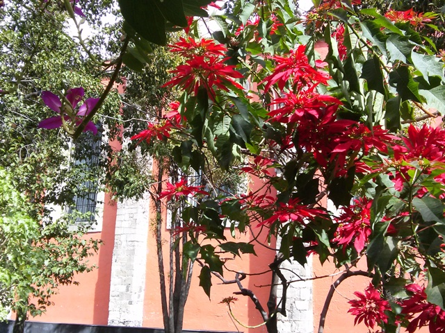 10241502 gardens trees of poinsettias